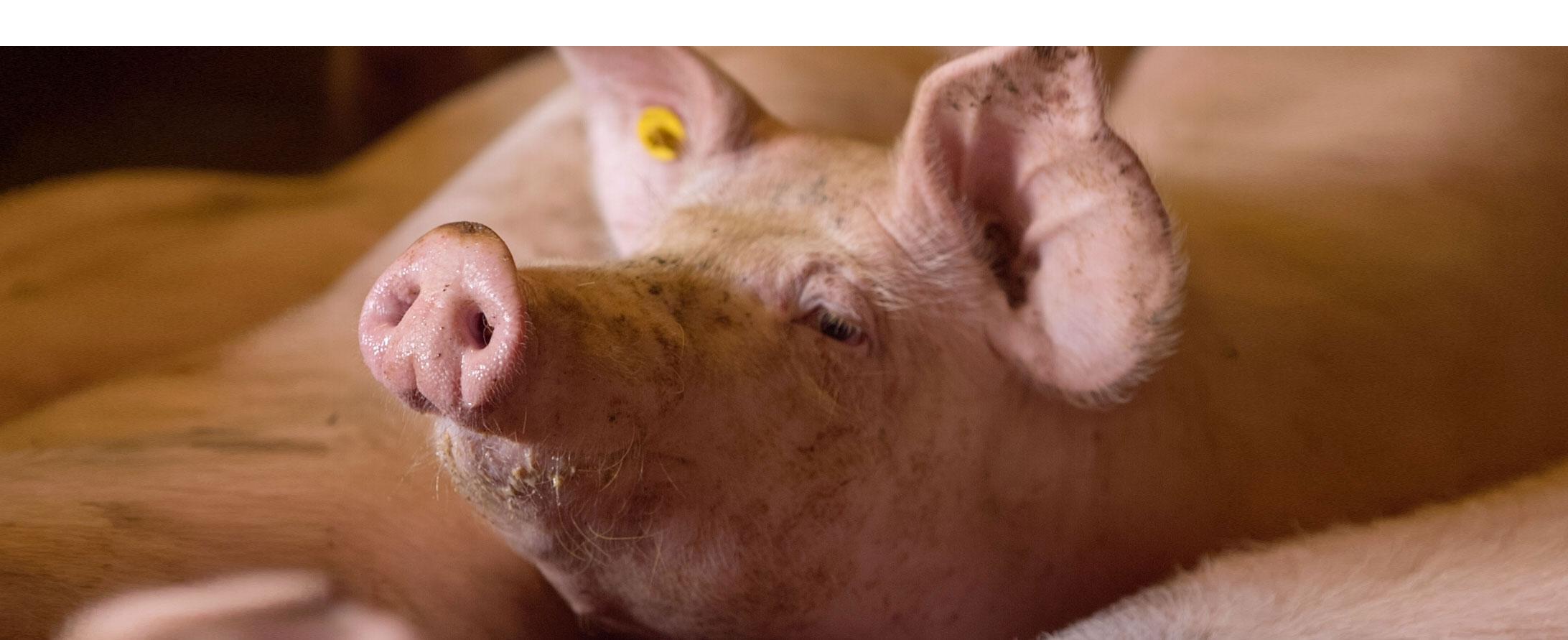 Varkens Mest verwerken op eigen boerderij